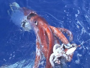 Giant Squid in Waters Near Japan
