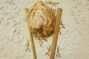 Praying Mantis Egg Sack