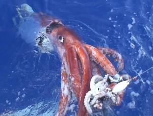 Giant Squid in Waters Near Japan